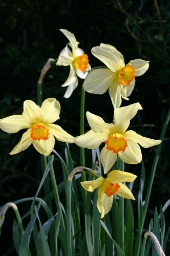 Narcissus Baths Flame