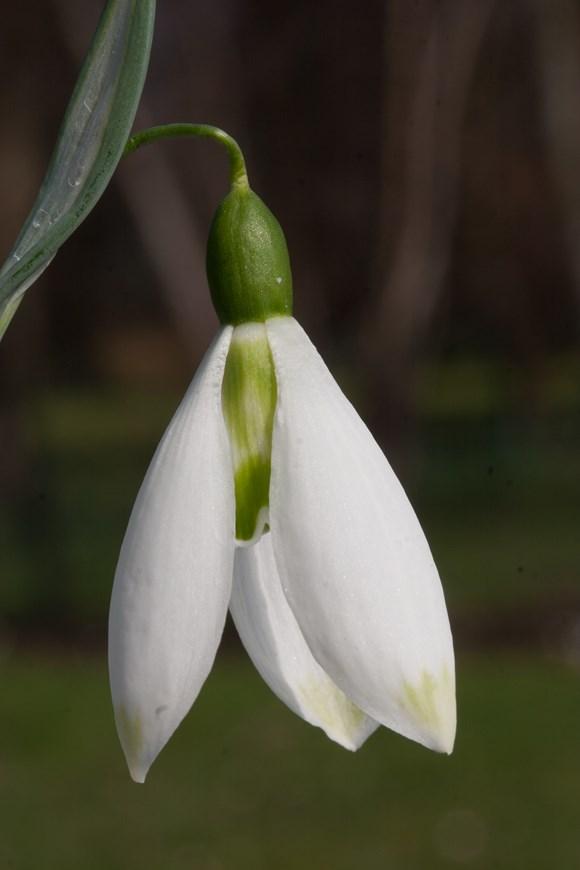 Galanthus Fanny