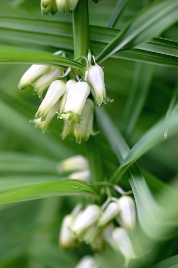 Polygonatum stenophyllum
