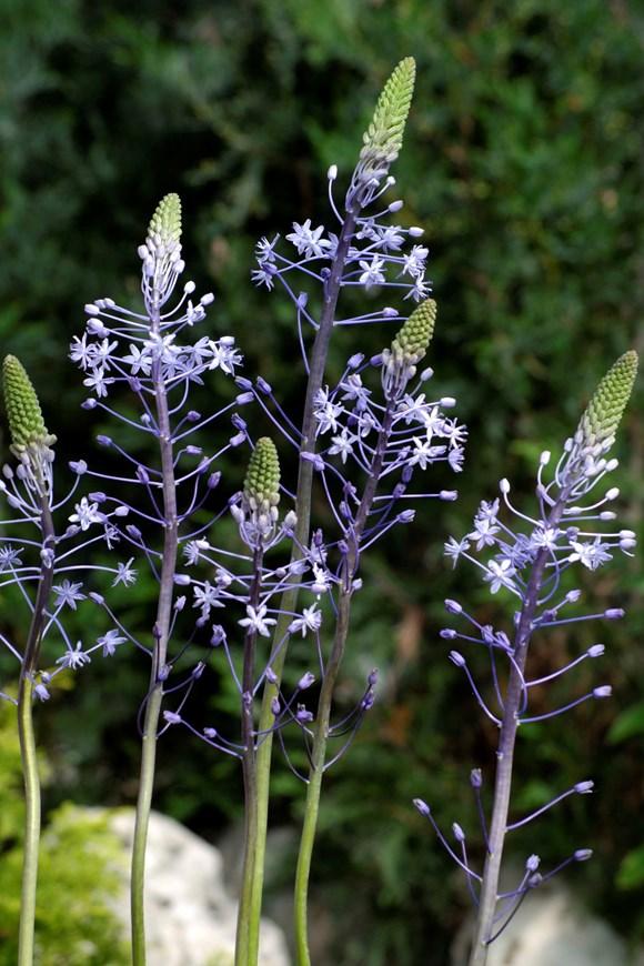 Scilla hyacinthoides Blue Arrow