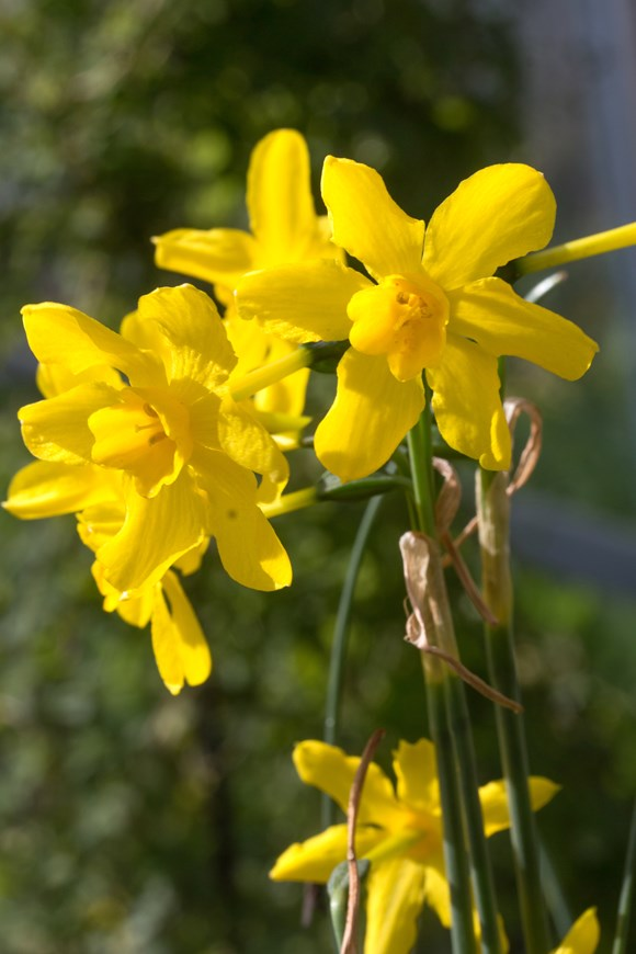 Narcissus fernandesii var.cordubensis (13)
