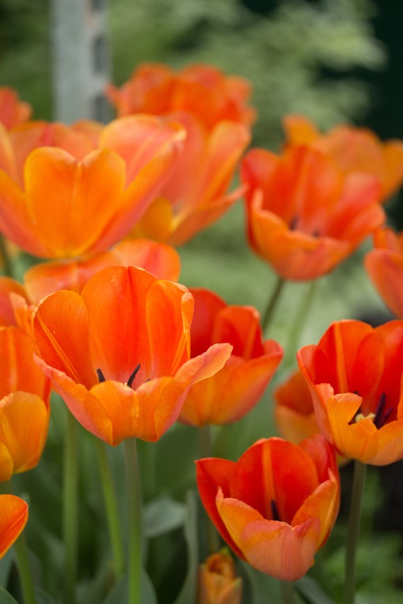 Zesty Tulip Collection (4)