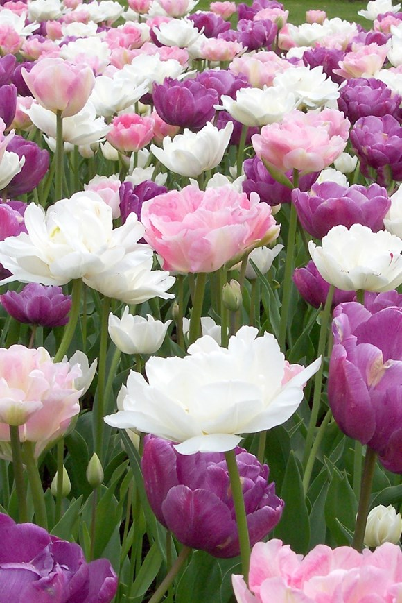 Pastel Tulip Collection (3)