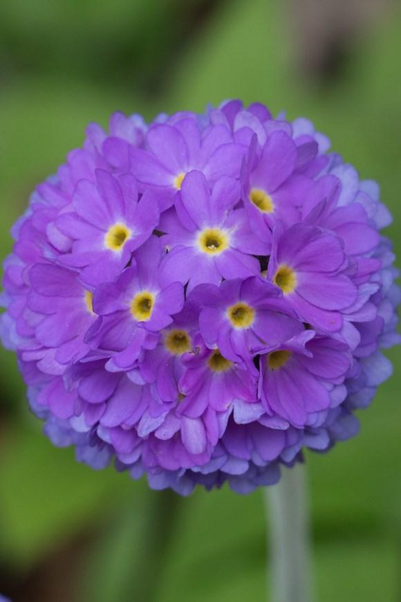 Primula denticulata Purple