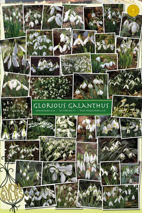 A2 Galanthus Poster