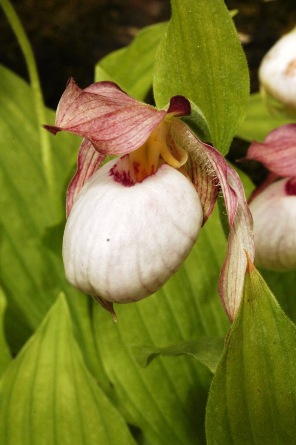 Cypripedium Gisela