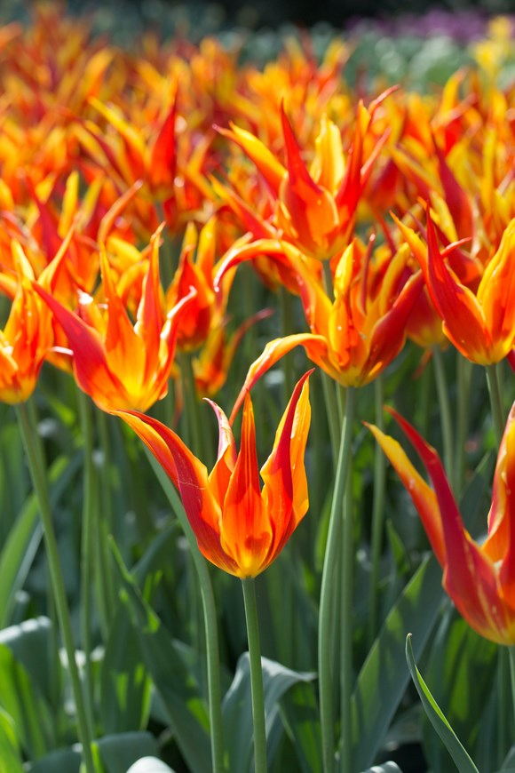 Bright Tulip Collection (4)