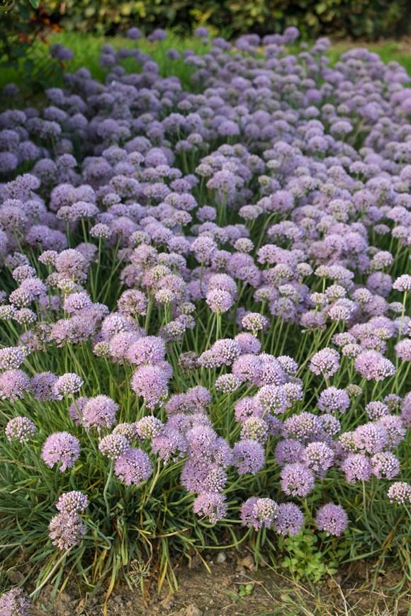 Allium senescens ssp glaucum