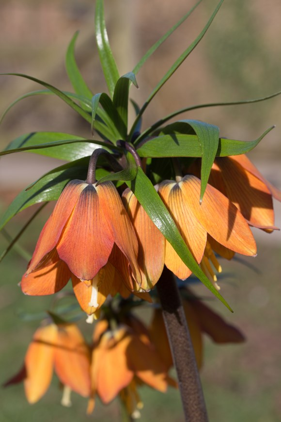 Fritillaria imperialis Rascal Chopin