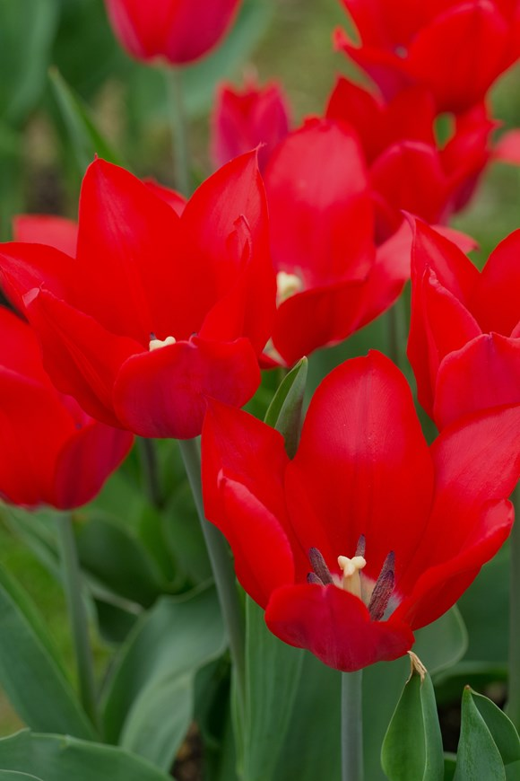 Tulipa Pieter de Leur