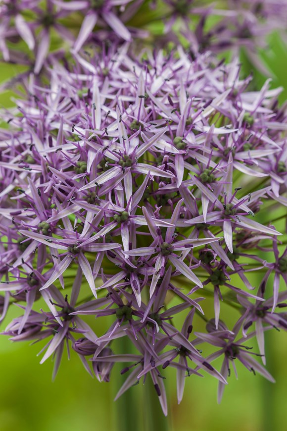 Allium stipitatum Violet Beauty