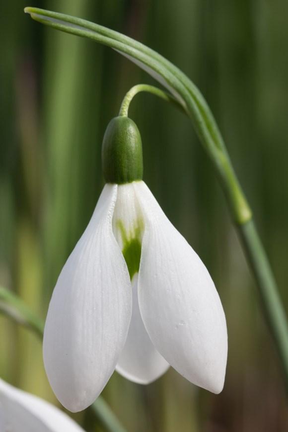Galanthus Elmley Lovett