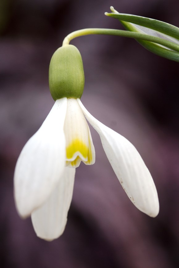 Galanthus Mother Goose