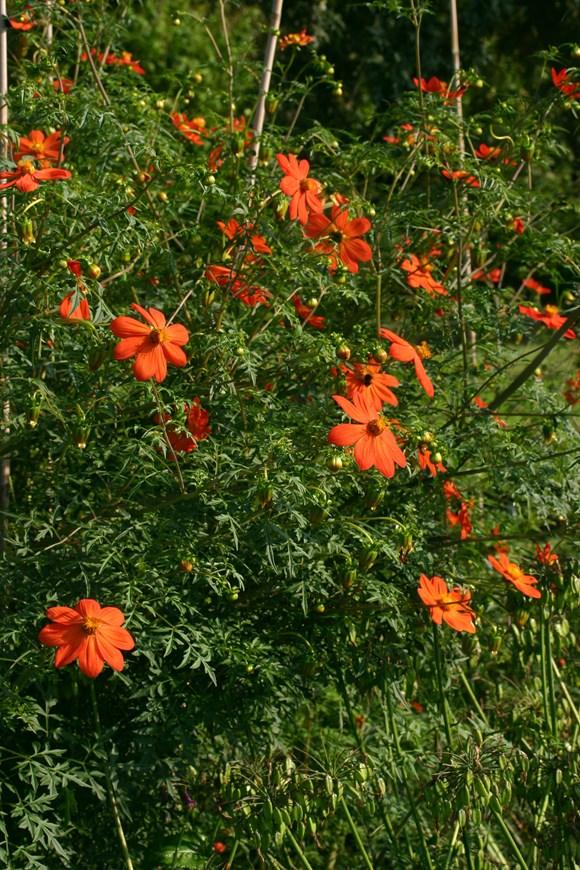Dahlia coccinea var palmeri