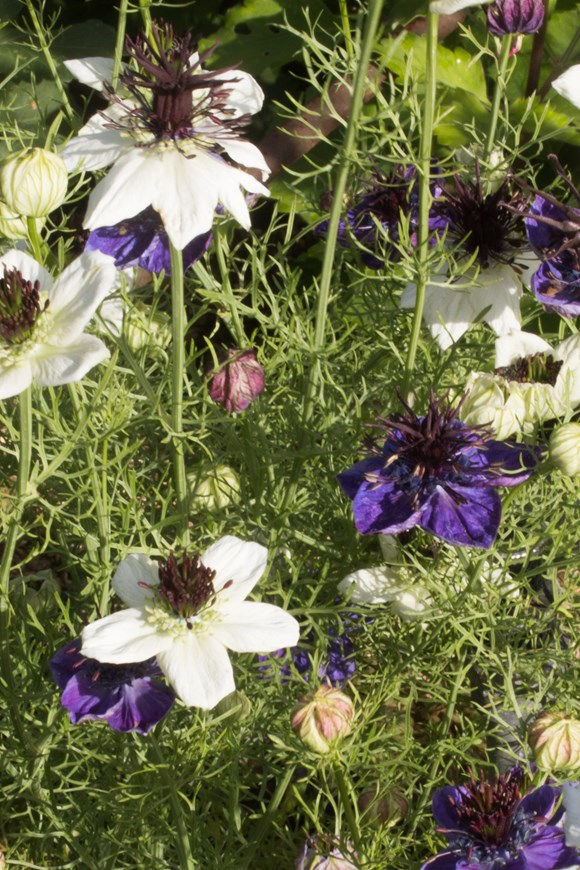 Nigella papillosa 'African Bride' & 'Midnight' (Seeds)