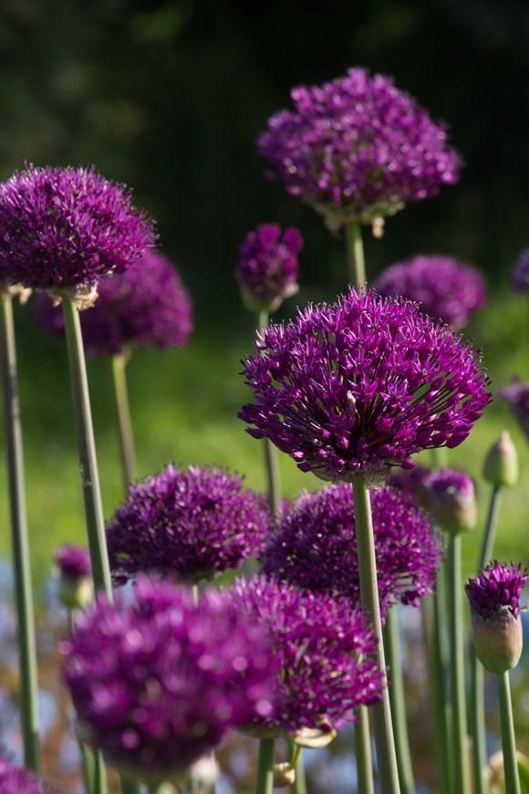 Allium hollandicum Purple Sensation