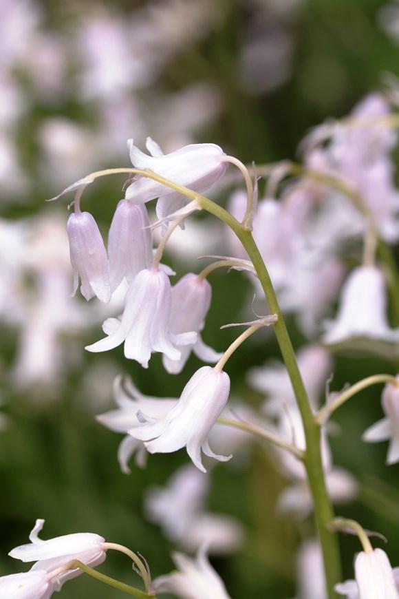 Hyacinthoides non scripta pink