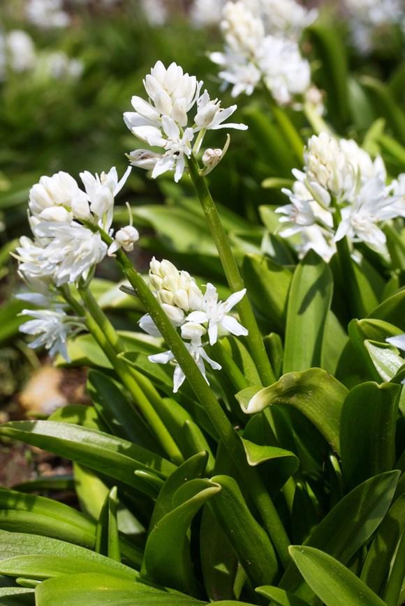 Scilla lilio-hyacinthus alba