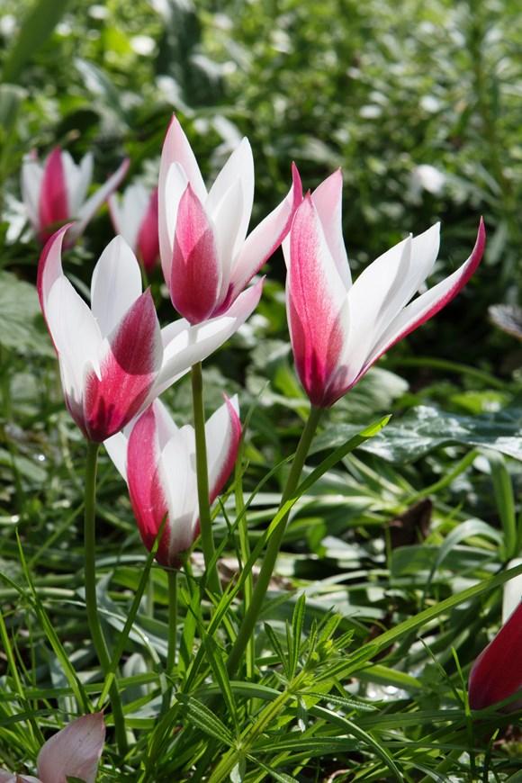 Tulipa clusiana Peppermintstick