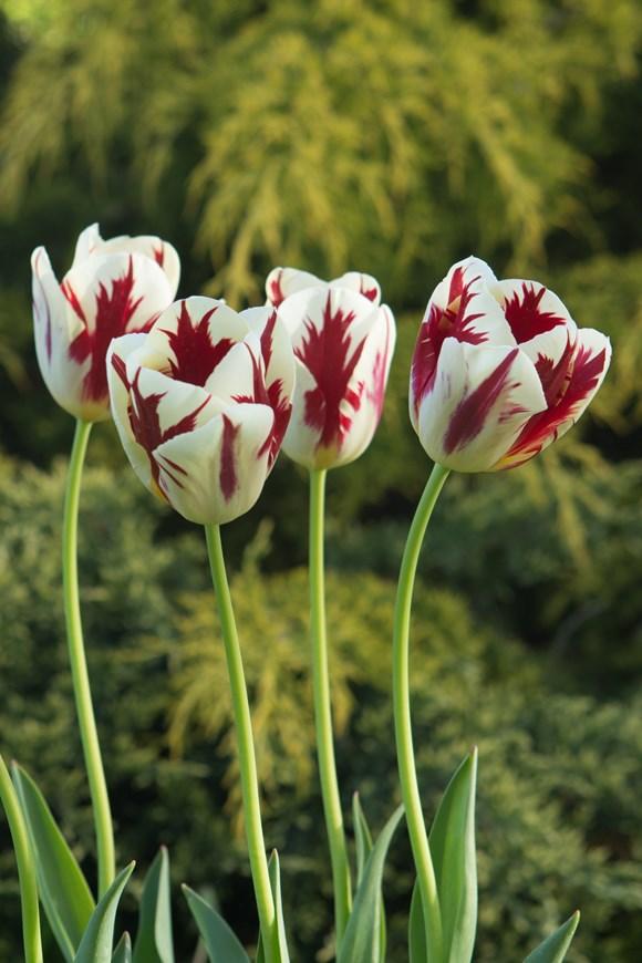 Tulipa Grand Perfection