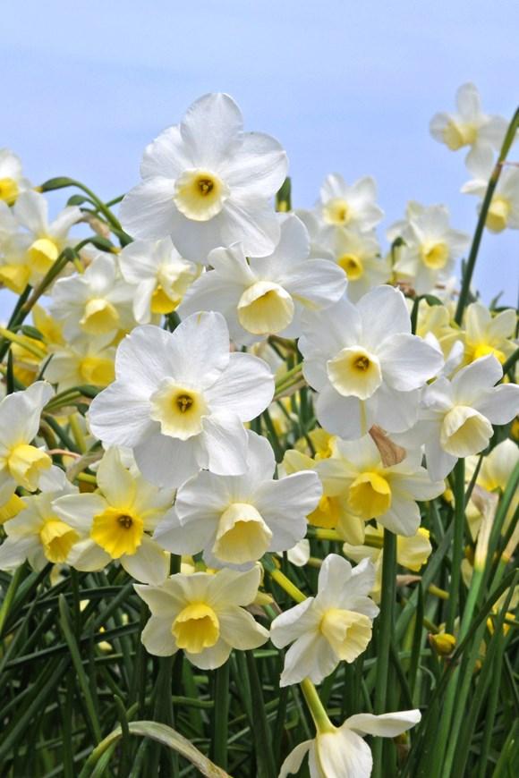 Narcissus Desert Bells