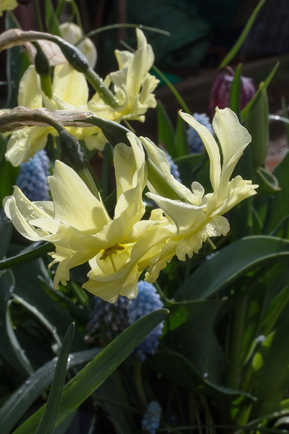 Narcissus Exotic Mystery (11)