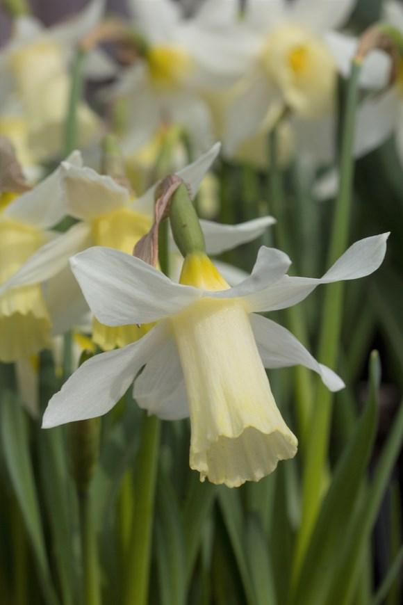 Narcissus Elka (1)