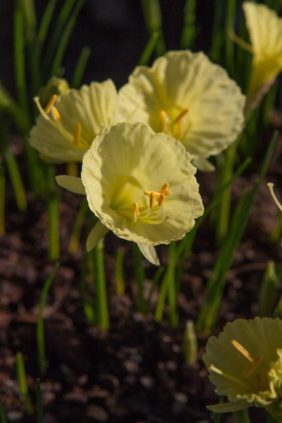 Narcissus Julia Jane
