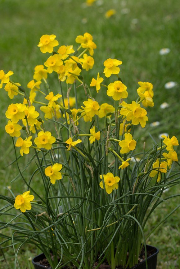 Narcissus More and More (7)