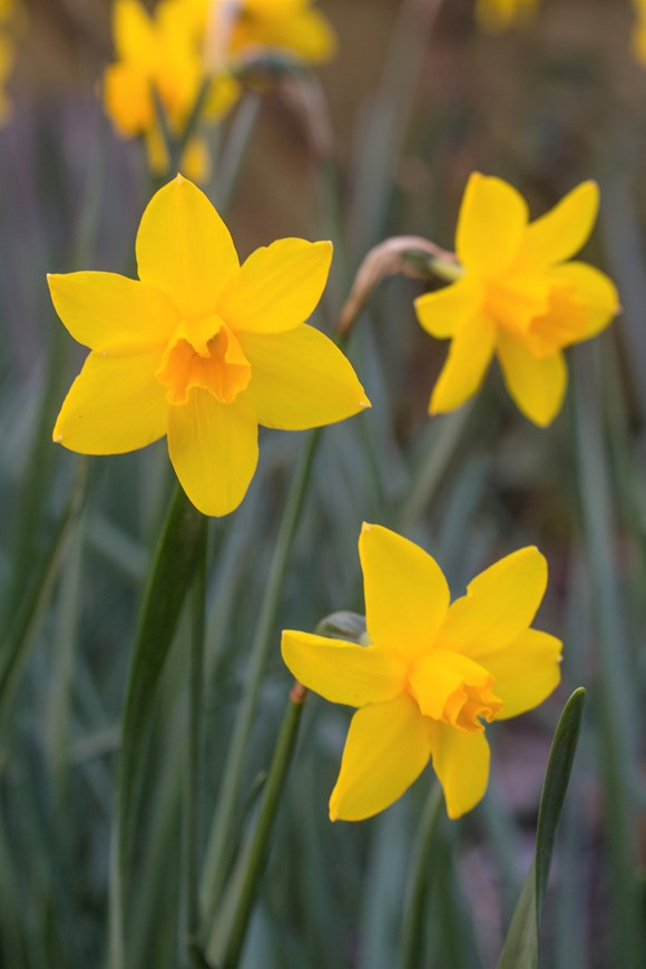 Narcissus Sweetness (7)