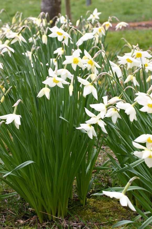 Narcissus White Lady (3)