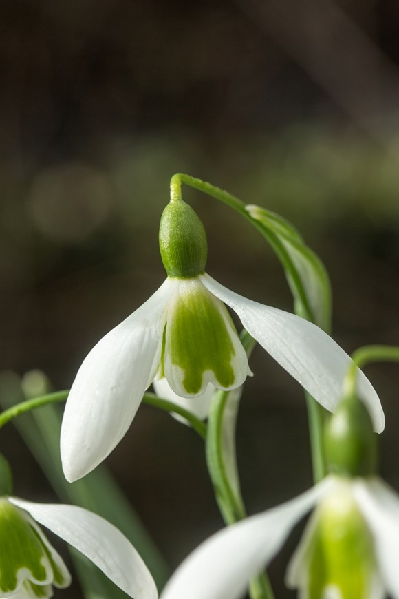 Galanthus Hoverfly