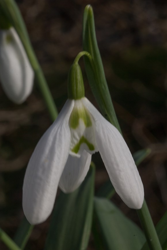 Galanthus Grumpy's Brother