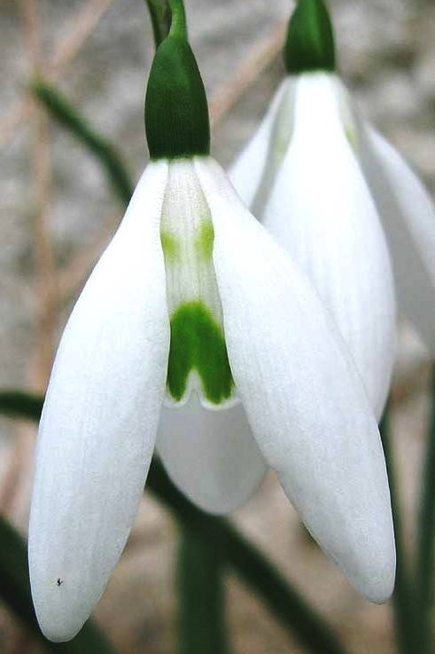 Galanthus Long 'drop