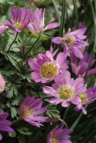 Anemone Blanda Pink Star Avon Bulbs