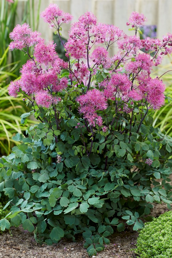 Thalictrum Little Pinkie