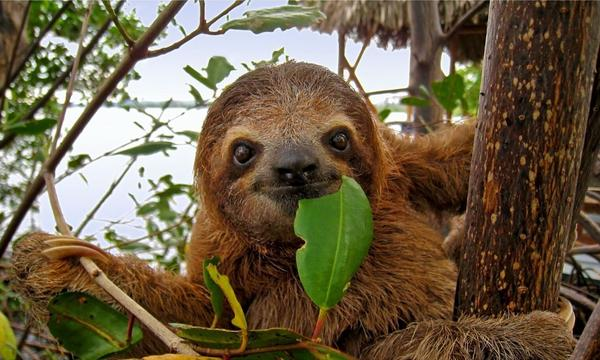 Sloth in the Mangrove, Costa Rica