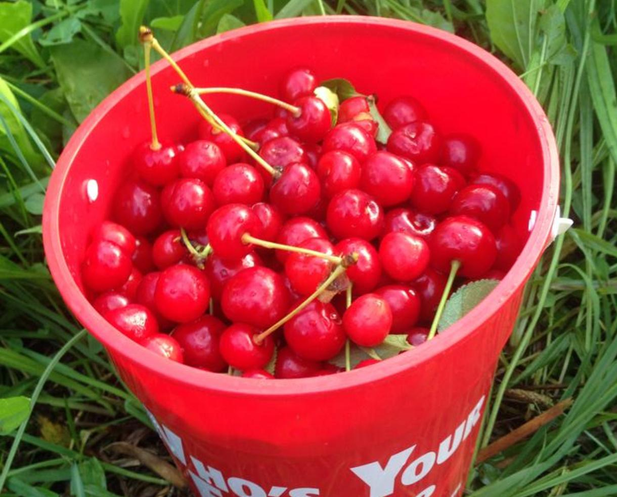 $6 for Great Country Farms Admission - U-Pick Cherries & Blueberries in June !!