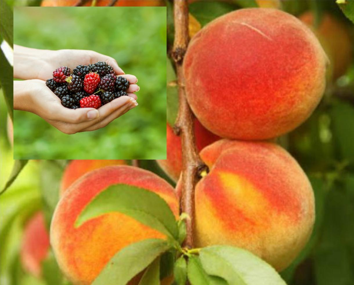 $6 for Great Country Farms Admission - BLACKBERRY & PEACH PICKING !!