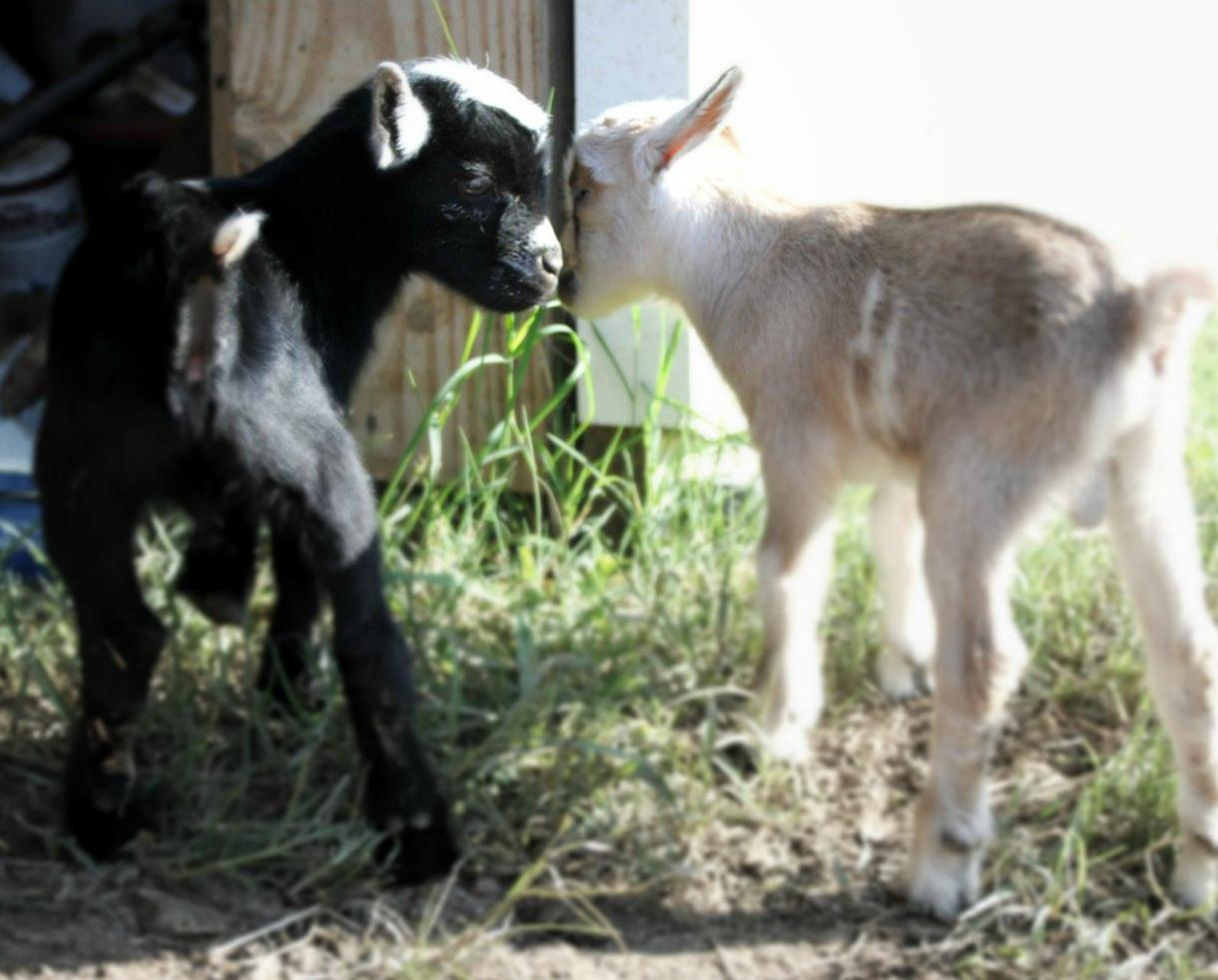 GoatToBeZen Yoga with Goats Class at Prosperity Farm