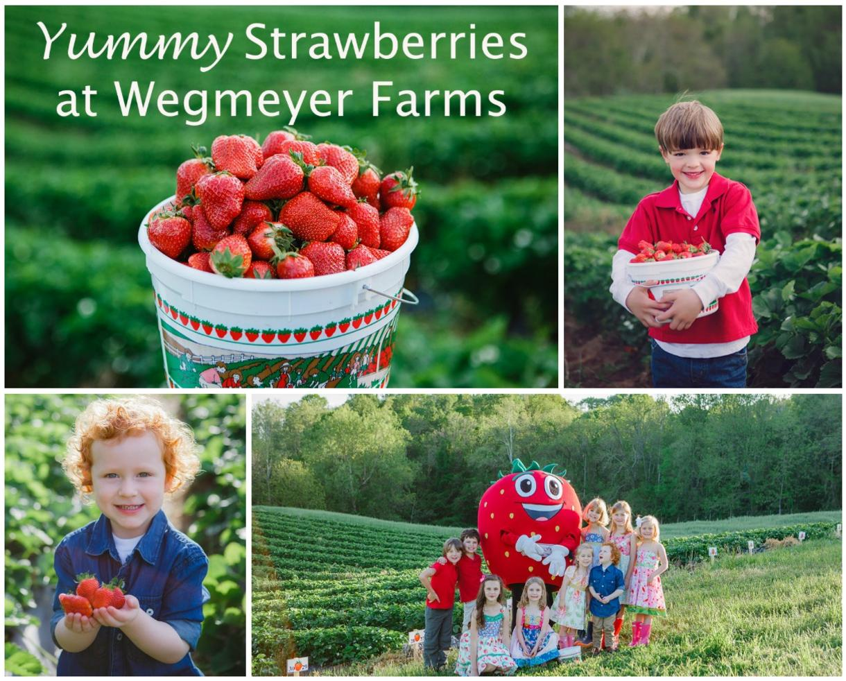 U-Pick Strawberries at Wegmeyer Farms