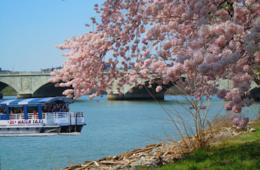 $8+ for DC Cruises Cherry Blossom Water Taxi in DC for Ages 6+ (Up to 40% Off!)
