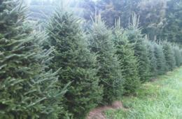$59.98+ for Fresh Cut Balsam or Fraser Fir Christmas Tree (50% Off)
