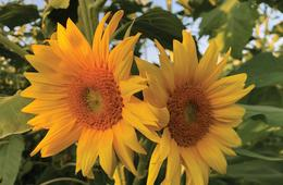 Sunflower Maze & Pick-Your-Own Flowers
