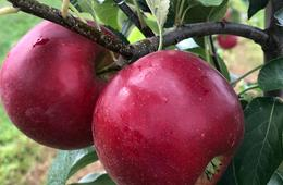 Two Pecks of Pick-Your-Own Apples at Mackintosh Fruit Farm