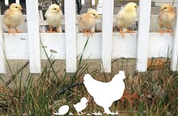 NJ/NY/PA 4 Week Chick Hatching Rental from RentACoop