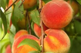 $5 for Great Country Farms - Summer Admission & PEACH PICKING! (60% Off!)