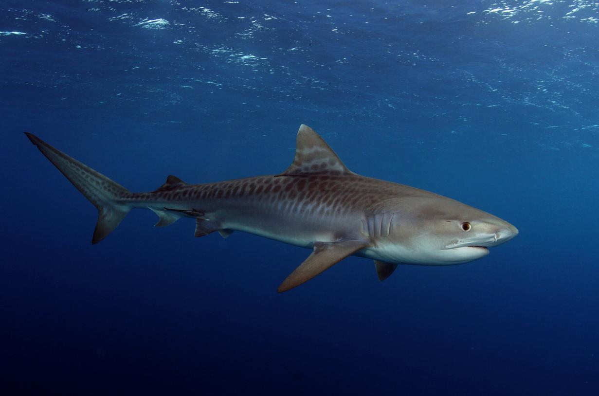 tiger shark 1280x800 - photo #37