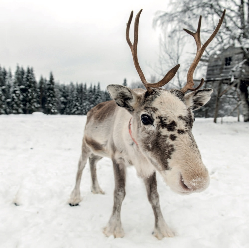 Reindeer in The Snow ( Pack of 10) 00001