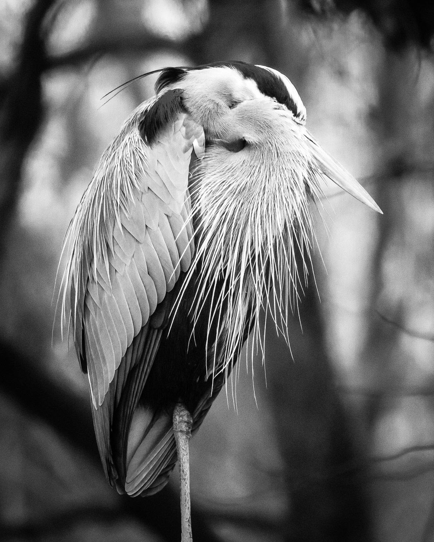 Napping Heron 00004
